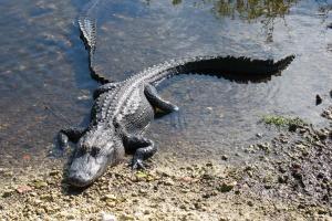 Florida - aligátor v parku Everglades